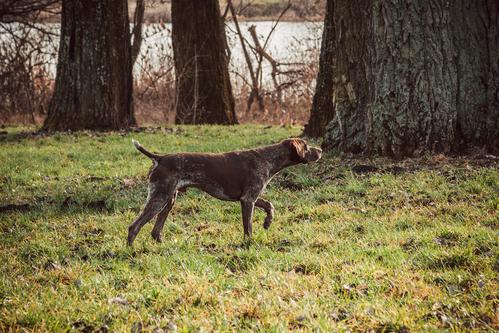 פוינטר מצביע על ציד- LADOG אילוף כלבים