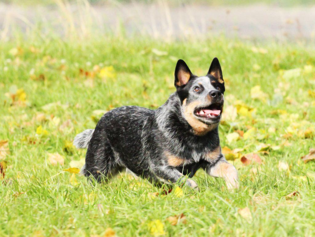 אילוף מקצועי לכלב בקר אוסטרלי - LADOG