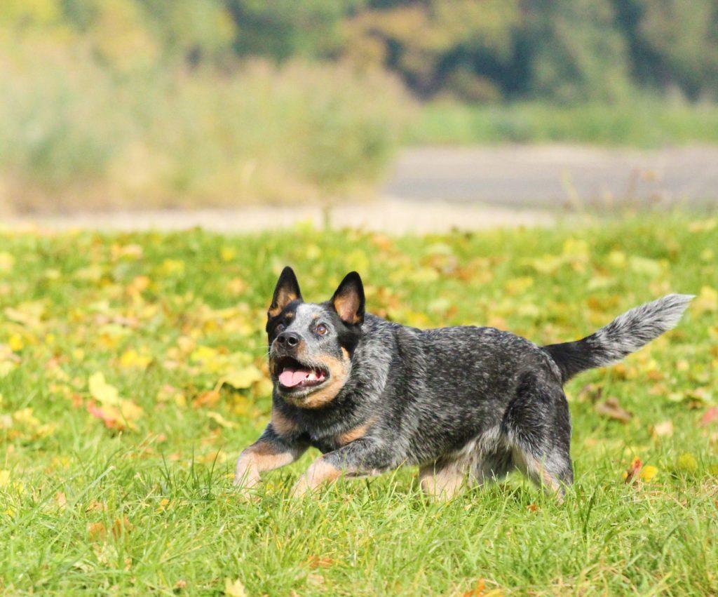 אימון מתקדם לכלב בקר אוסטרלי - LADOG