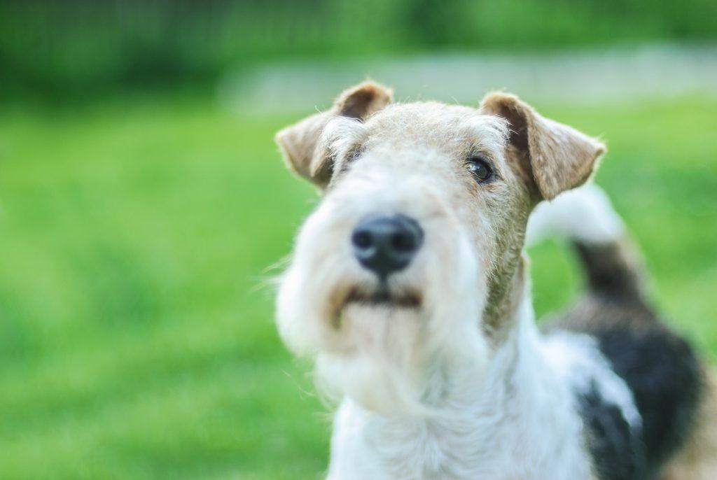 אילוף מקצועי לכלבי פוקס טרייר - LADOG