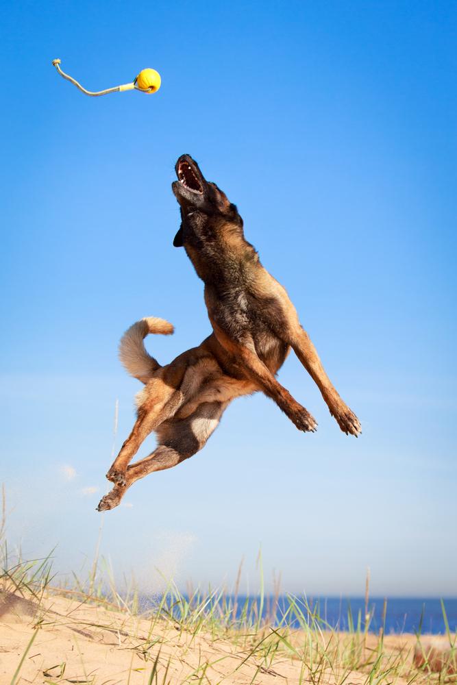 כדור גומי עם חוט הינו משחק מעולה לכלבי מלינואה - LADOG - אילוף מקצועי לכלבי מלינואה