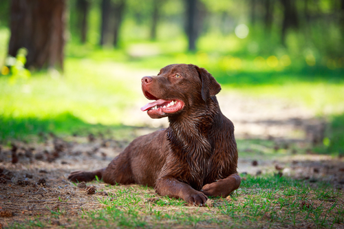 chocolate labrador retriever dog- לברדור שוקולד- LADOG