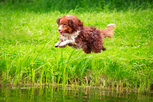 Australian shepherd dog- אימון מקצועי לכלב רועים אוסטרלי-LADOG