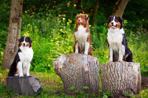Australian shepherd dog- כלביה מקצועית לאילוף כלב רועים האוסטרלי- LADOG