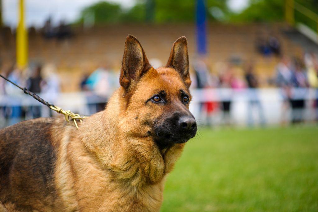 כלבי רועה גרמני מאולפים למכירה מקו רגיל ומקו עבודה - LADOG