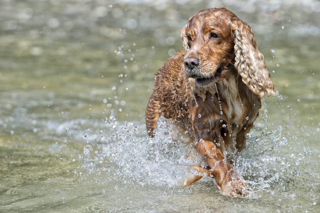 קוקר ספניאל אוהב מאוד מים - LADOG