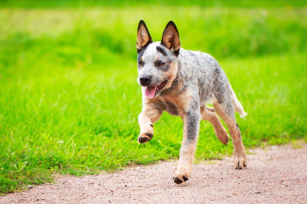 גור כלב בקר אוסטרלי - LADOG