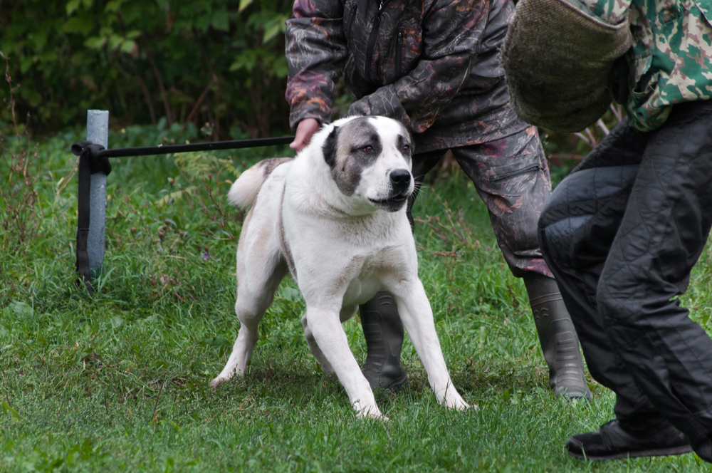 רועים אסיאתי נחשב לכלב שמירה מהטובים בעולם - LADOG -אילוף כלבים מקצועי