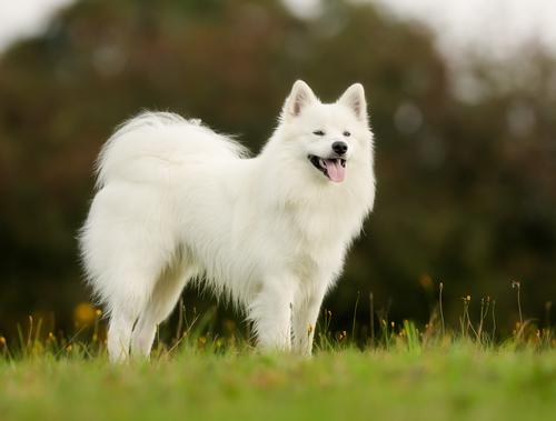 אימון מתקדם לכלב הסמוייד-LADOG