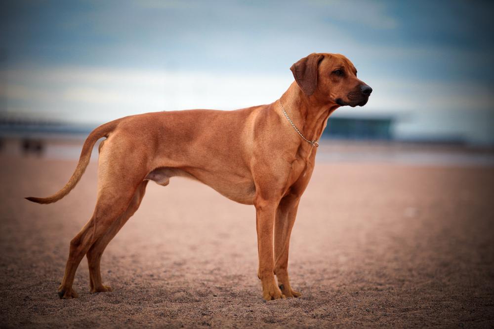 בתמונה כלב רודזיאן ריצ'בק בוגר - LADOG - מרכז מקצועי לאילוף כלבים