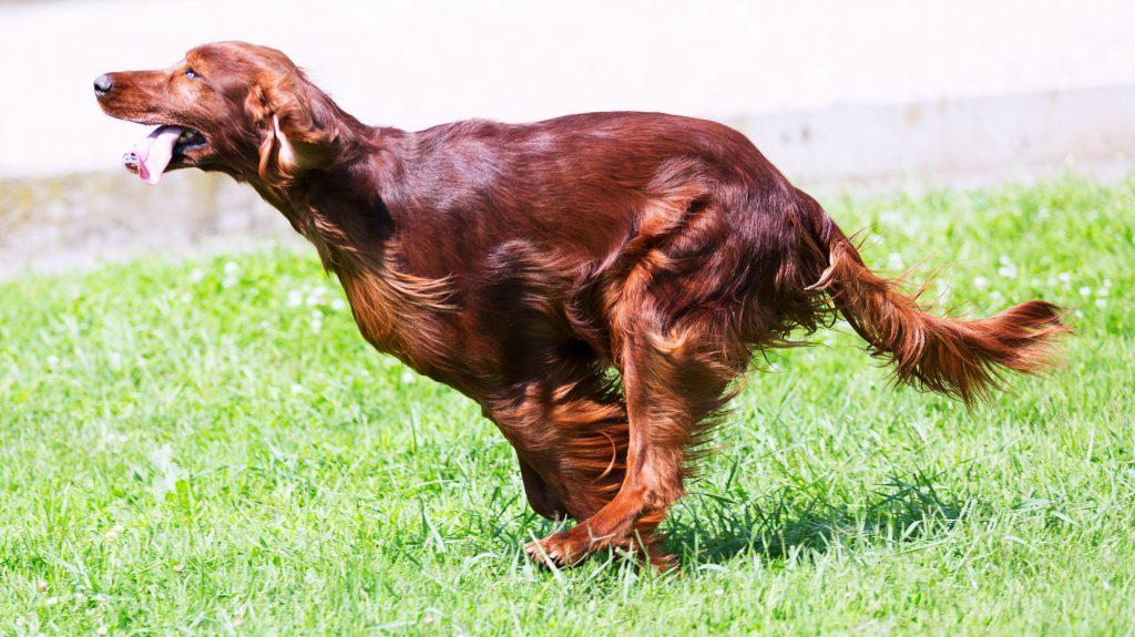 סטר אירי נחשב לכלב ציד נמרץ, אך מתאים גם לגידול בדירה בתנאי שיקבל שחרור על בסיס יומי -LADOG