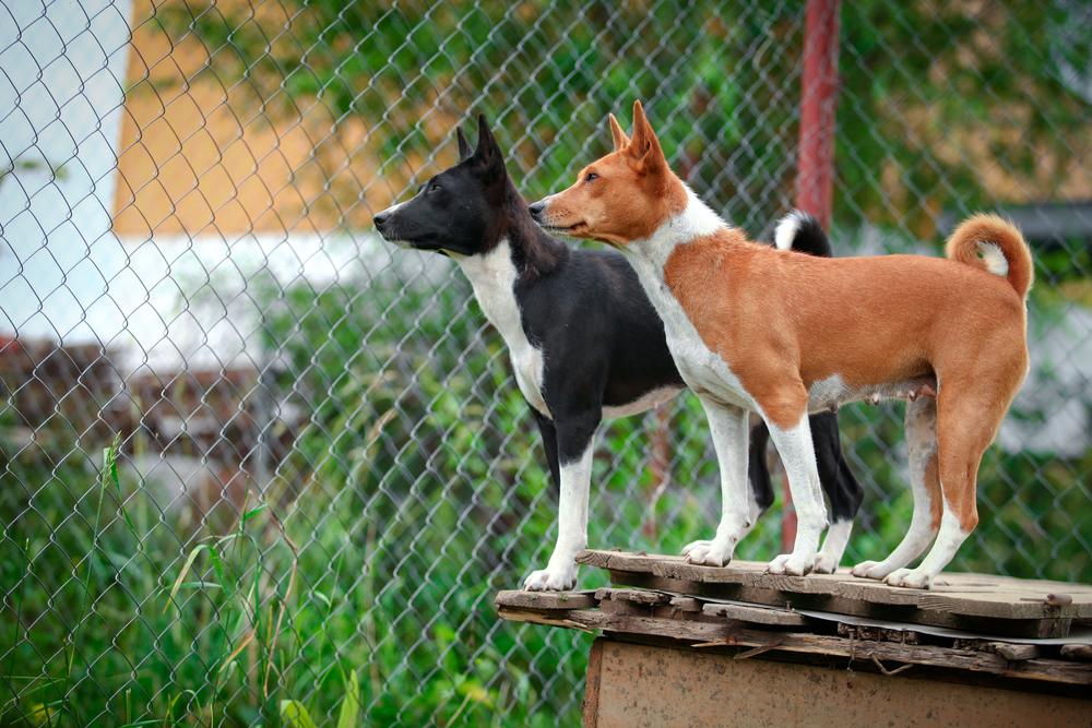 כלבי בסנג'י יכולים להופיע בצבע חום לבן או שחור לבן - LADOG - אילוף מקצועי