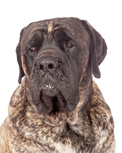 כלב מסטיף אנגלי מנומר-LADOG קורס אילוף מקיף לכלבי ענק