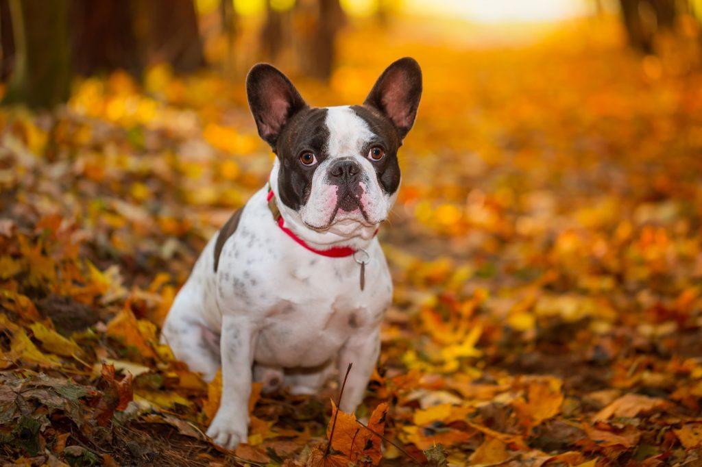 אילוף כלבים מקצועי לכלב בולדוג צרפתי - LADOG- כלבייה הממוקמת במרכז הארץ במושב מגשימים.