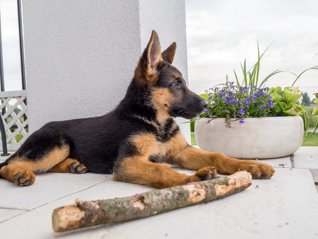 העמדת האוזניים בגור רועה גרמני - LADOG
