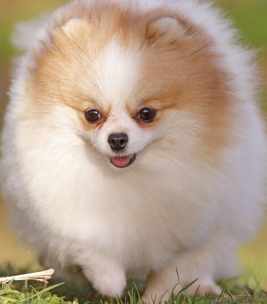כלב פומרניאן חום לבן - LADOG