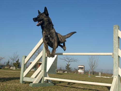 אילוף מקצועי לכלב רועה הולנדי- LADOG