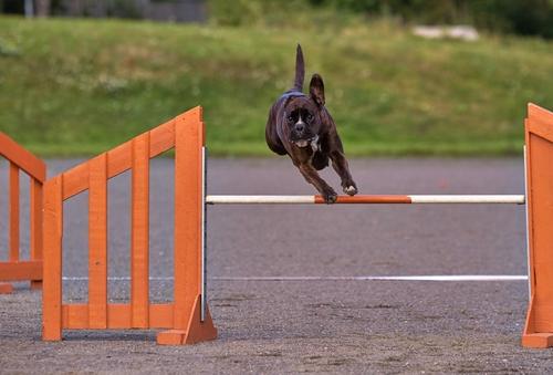 אילוף כלבי בוקסר- חברת LADOG