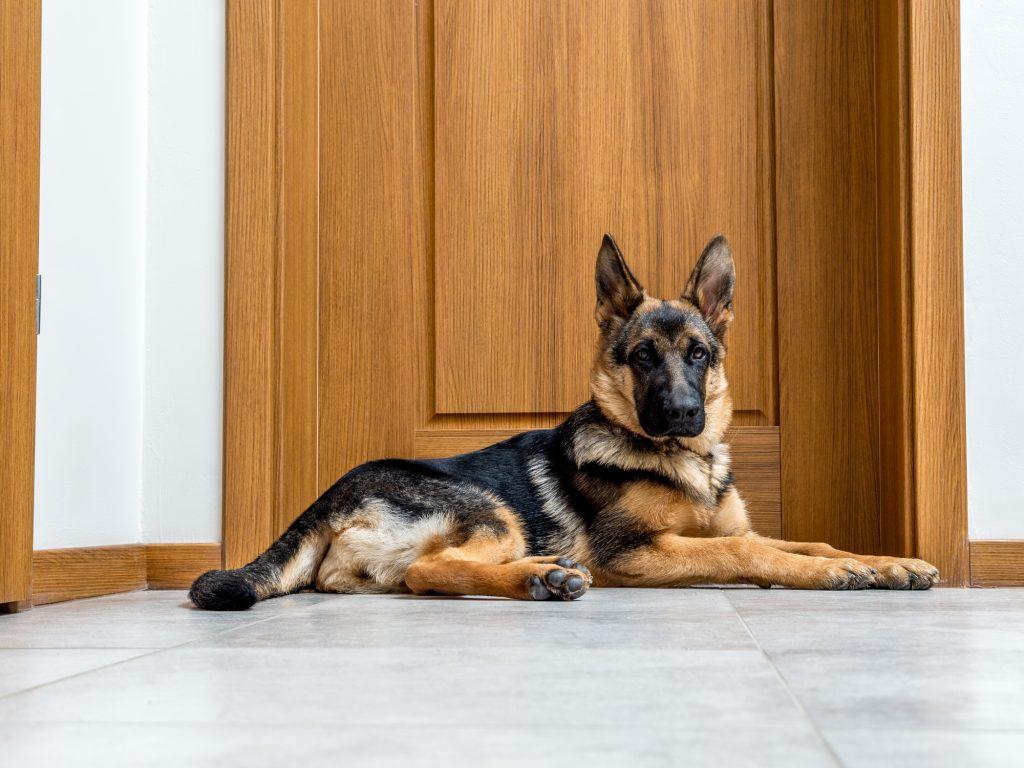 רועה גרמני מתאים לגידול בתוך דירה ובחצר