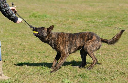 פיתוח יצר המשחק לכלב רועים הולנדי- LADOG