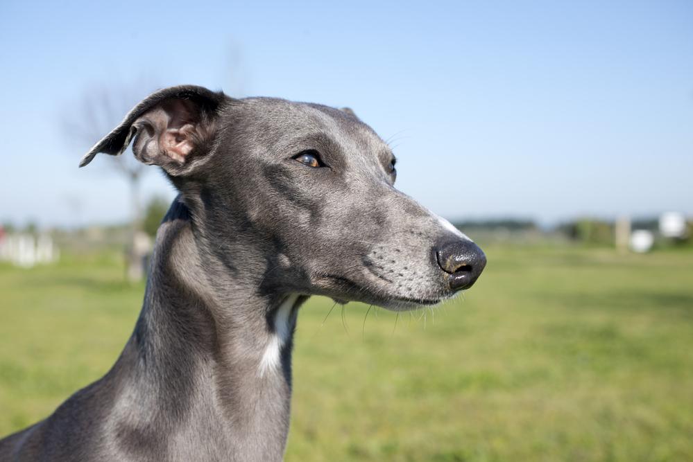 וויפט נחשב לכלב עדין וביישן , לכן מצריך חשיפה נכונה ואילוף מקצועי - LADOG