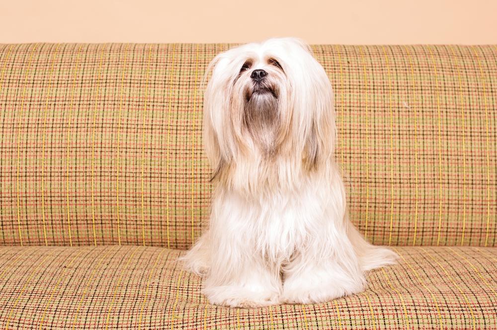 להאסה אפסו כלב עם אמון המון שמחת חיים - LADOG