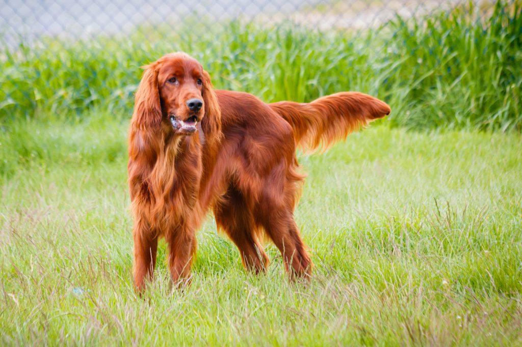 אילוף מקצועי לכלבי סטר אירי - LADOG