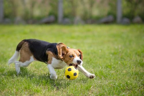 פיתוח יצר המשחק לכלבי ביגל- LADOG