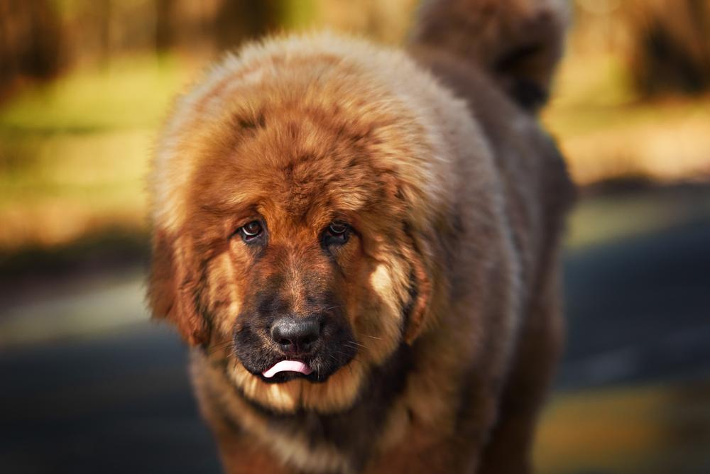 אילוף מקצועי לכלבי מאסיף טיבטי - LADOG