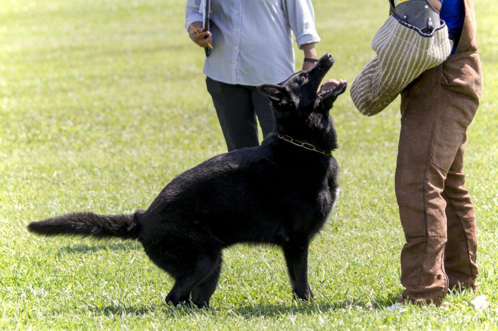כלבי רועה גרמני מאולפים להגנה - LADOG