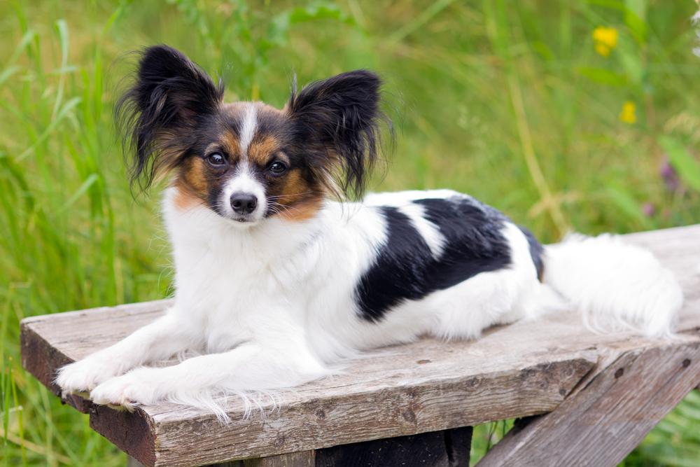 אילוף מקצועי לכלבי פפיון - LADOG