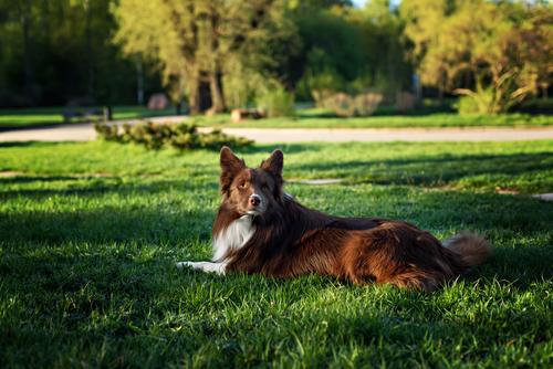 קורס אילוף כלבים מקיף לכלבי בורדר קולי- LADOG