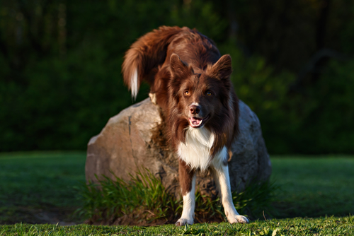 בורדר קולי בגוון חום אדום-LADOG אילוף כלבים מקצועי