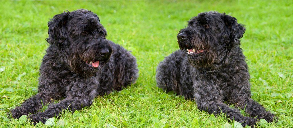 אילוף למשמעת מתקדמת לכלבי קרי בלו טרייר - LADOG