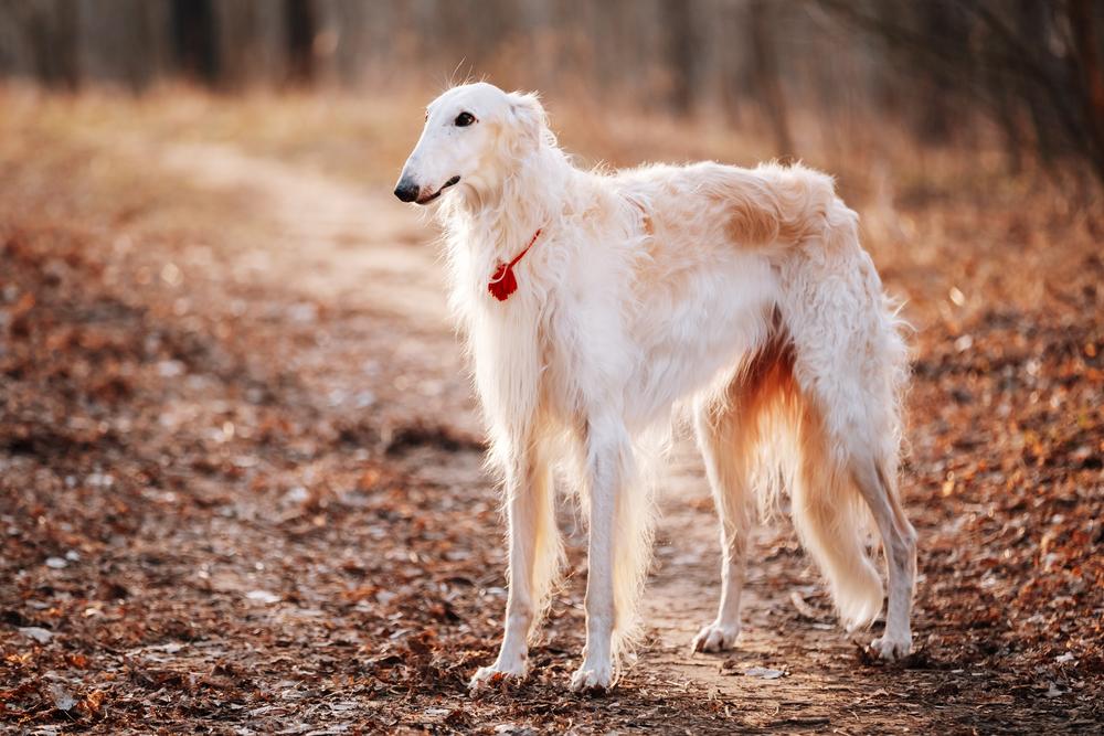 כלב בורזוי בצבע הקלאסי - LADOG