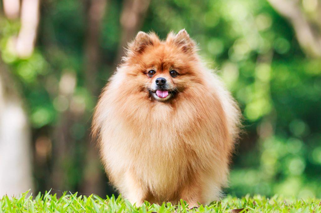 קורס אילוף לכלבי פומרניין -LADOG