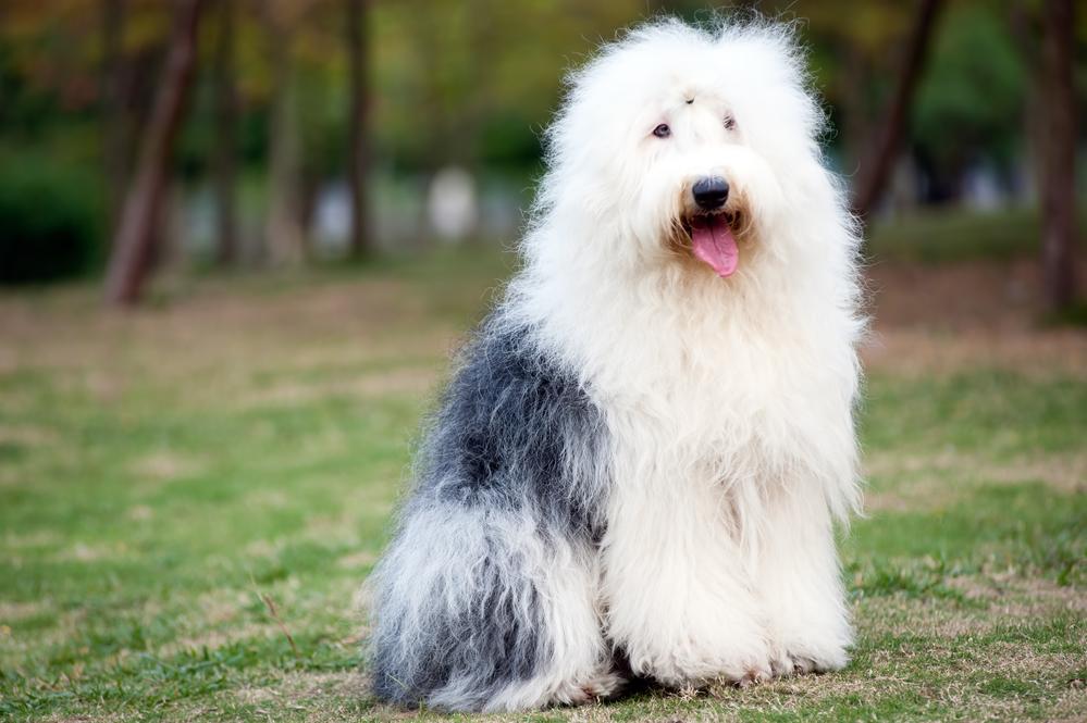 כלב צאן אנגלי עתיק בוגר - LADOG - אילוף כלבים