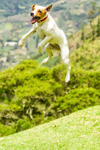 קורס אילוף מקצועי לכלב הג'ק ראסל טרייר- LADOG- ביחס לגודל הכלב, הג'ק ראסל קופץ הכי גבוה מכל הגזעים האחרים.