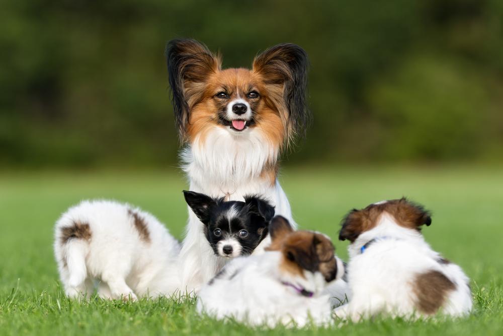 כלבת פפיון על הגורים שלה - LADOG - מרכז מקצועי לאילוף כלבים