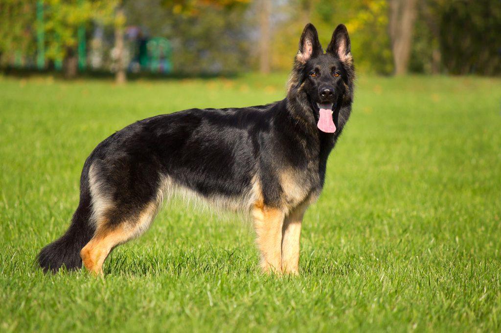 מבחר כלבי רועים גרמני מאומנים - LADOG