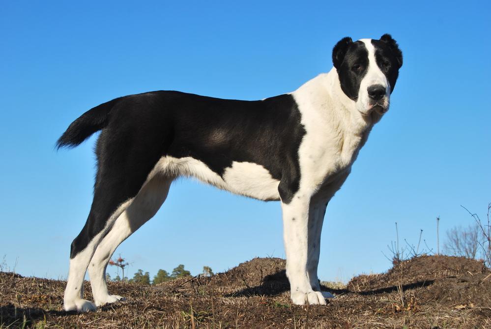 מודרני רועה אסיאתי | Ladog PK-33