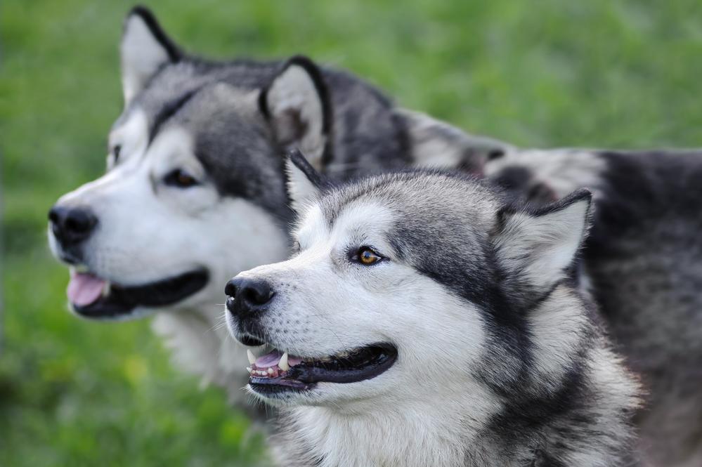 אלסקן מלמוט זכר ונקה בוגרים - LADOG - מרכז לאילוף כלבים