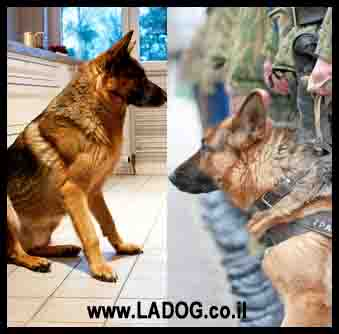 כלב רועה גרמני- שימושים כיום