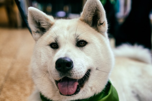 לאקיטה יפני מבט אנושי - LADOG אילוף כלבים