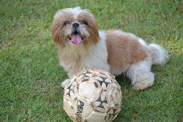 לכלב השיצו אהבה למשחקים, אותם מומלץ לקשר לפקודות המשמעת - LADOG אילוף מקצועי