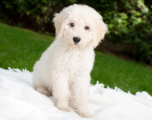 המלטז נחשב לכלב תקשורתי מאוד באימוני המשמעת - LADOG - אילוף מקצועי