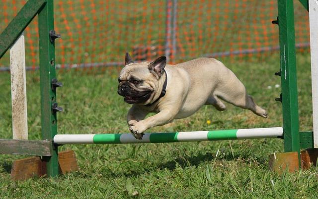אילוף כלבי פאג סיני- LADOG