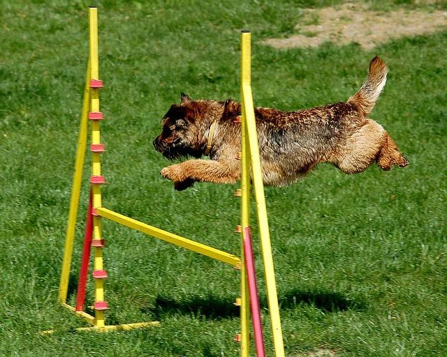 אילוף כלבי בורדר טרייר - LADOG אילוף כלבים מקצועי