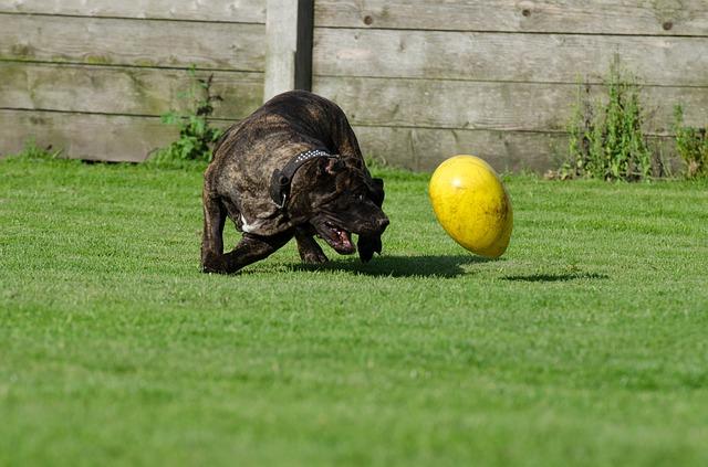 לכלבי דוגו קנריו יצר משחק מעולה, אותו חשוב לקשר לפקודות המשמעת לקבלת תקשורת גבוהה - LADOG אילוף כלבים מקצועי
