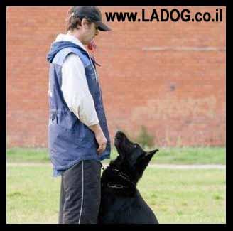 אילוף רועה גרמני לקשר עין-LADOG
